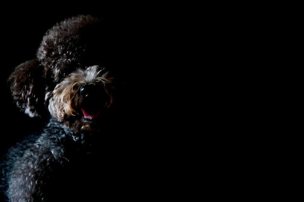 Gedeeltelijk portret van de aanbiddelijke zwarte hond die van de poedel van het stuk speelgoed op camera kijkt en glimlacht die op zwarte achtergrond wordt geïsoleerd.