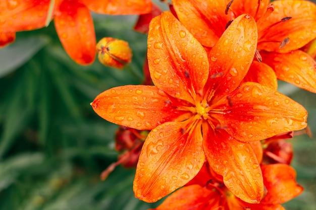 Gedeeltelijk wazig creatieve achtergrondafbeelding van fel oranje lelies en groen