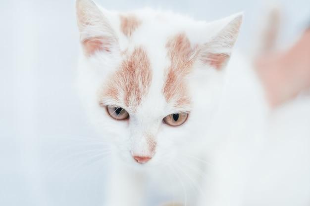 Gedeeltelijk wazige snuit van witte en gemberkat - ogen en neus op witte achtergrond, selectieve focus
