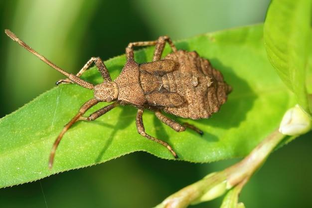 Gedetailleerd close-up shot van een nimf van de dock-bug op een groen blad