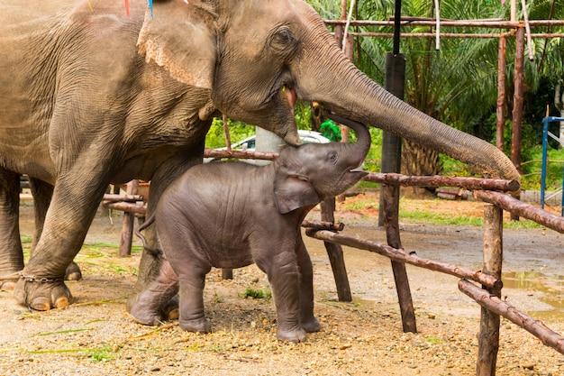 Gedomesticeerde aziatische olifantenmoeder en baby