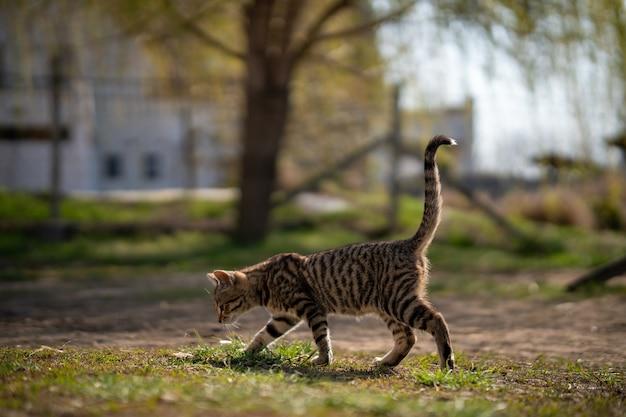 Gedomesticeerde grijze kat die op een mooie dag op de werf ronddwaalt