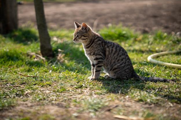Gedomesticeerde grijze kat, zittend op een met gras begroeid gazon op een mooie dag