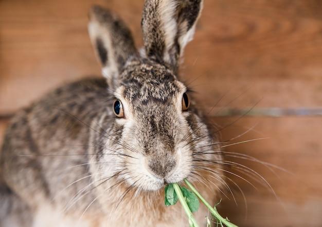 Gedomesticeerde wilde haas in een kooi eet gras. konijnenkooi. konijnen voeren.