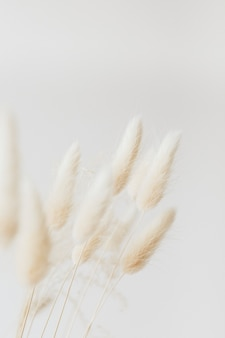 Gedroogd konijnenstaartgras op een lichte achtergrond