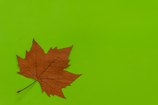 Gedroogd platanusblad op groene achtergrond.