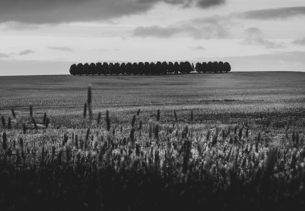 Gedroogd tarweveld in zwart-wit