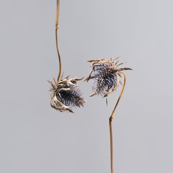 Gedroogde bloemen van blauwkoperyngium hangen naar beneden en strekken zich naar elkaar uit voor een kus. bloemen in liefde. mooie sfeervolle bloemen wenskaart concept op grijze achtergrond met kopie ruimte.