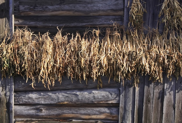 Gedroogde bonen die aan de muur van een oud landelijk gebouw hangen tijdens het droogproces in het dorp.