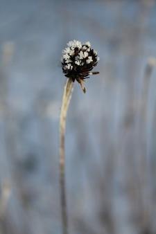 Gedroogde bruine boerenwormkruid seedpods met vorst bovenop