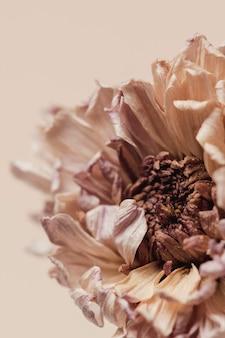 Gedroogde chrysantenbloem op een beige ondergrond