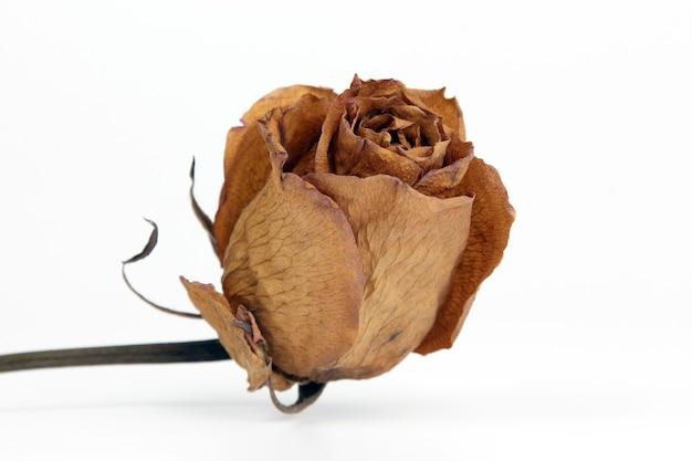 Gedroogde gele roos close-up op wit