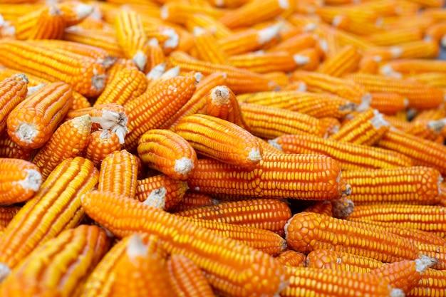 Gedroogde maïs achtergrond.