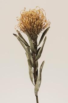 Gedroogde oranje speldenkussen protea bloem op een beige achtergrond