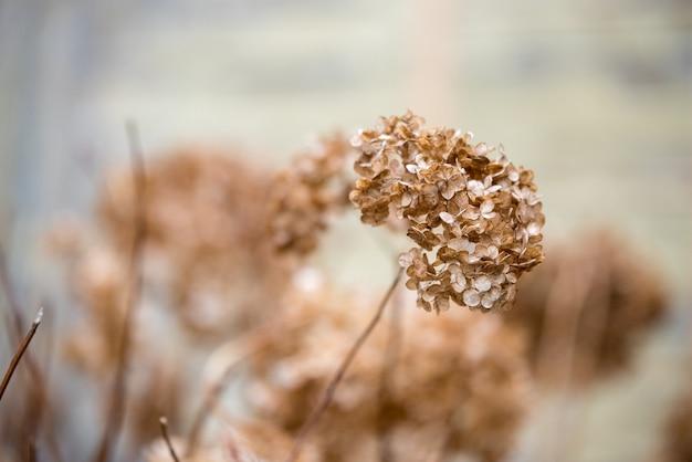 Gedroogde oude hortensia's. vroege lente. droge bloemen. kleine gouden bloemen. zacht licht.