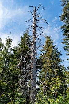 Gedroogde pijnboom in een bos