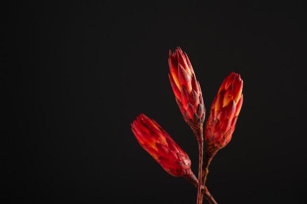 Gedroogde protea op een donkere achtergrond