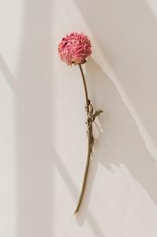 Gedroogde roze pioenroos op een beige ondergrond