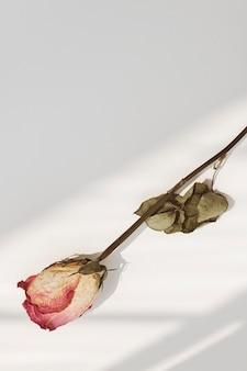 Gedroogde roze roos met een schaduw op een achtergrond