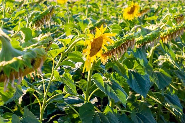 Gedroogde vervaagde rijpe zonnebloemen op het veld voor het oogstseizoen.