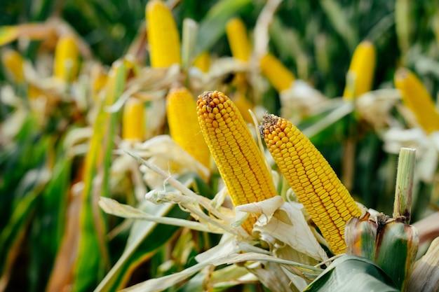 Gedrukte gele partij maïskolven in het veld