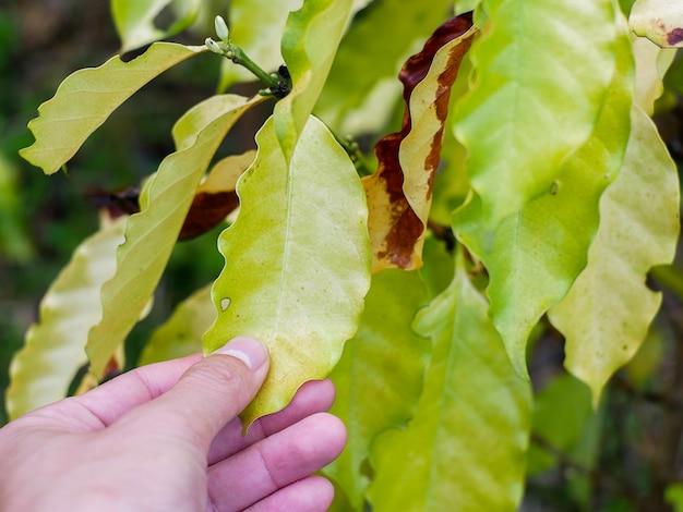 Geel blad dwergziekte chlorose in koffieboom