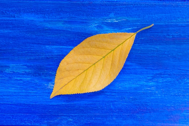Geel blad op blauwe achtergrond. herfst concept. detailopname
