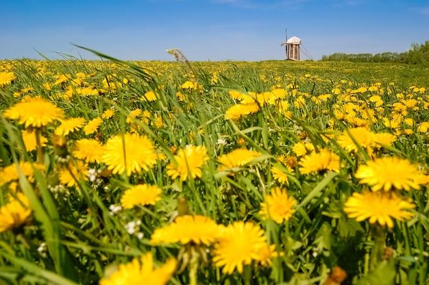 Geel bloeiend veld met windmolen in de verte.