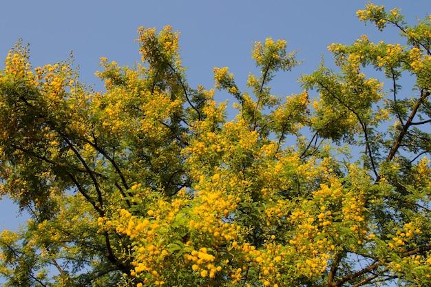 Geel bloeiende mimosa op een boom op een zonnige dag. acacia zilver van kleur