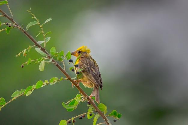 Geel-browed mus op de boomtak in een zachte wazige backgroun
