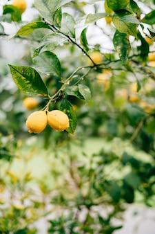 Geel citroenfruit op de takken van de boom tussen het gebladerte, bedekt met regendruppels