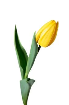 Geel. close up van mooie verse tulp geïsoleerd op een witte achtergrond. copyspace voor uw advertentie. biologisch, bloem, lentesfeer, tedere en diepe kleuren van bloemblaadjes en bladeren. magnifiek en glorieus.