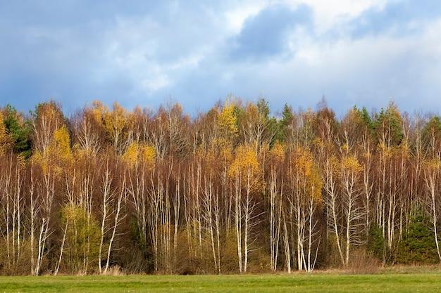 Geel en oranje gebladerte op berkenbomen