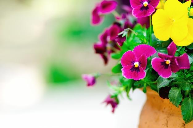 Geel en violet pansies in bloempot in tuin. ruimte kopiëren. lente en zomer concept.