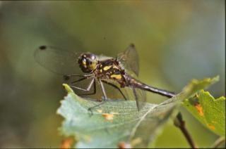 Geel en zwart libelle, insect, insecten
