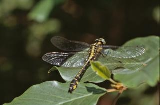 Geel en zwart libelle