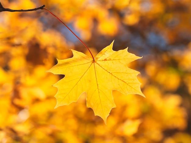 Geel esdoornblad op een heldere natuurlijke zonnig