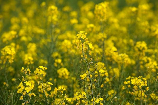Geel gebied van bloemen mosterd