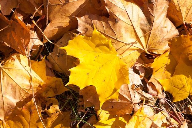 Geel gebladerte esdoorn liggend op de andere gevallen bladeren vallen, verandert in de natuur voor de kou