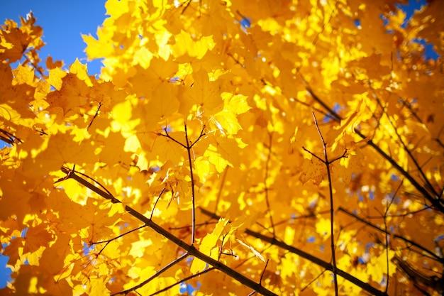 Geel gebladerte op takken van een boom. herfstbladeren op de zon. fall achtergrond