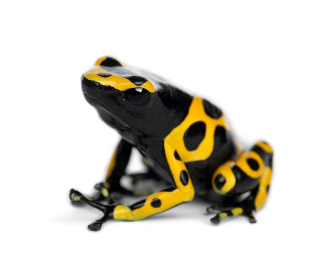 Geel-gestreepte pijlgifkikkers, ook bekend als een geelkoppijlgifkikker en hommelgifkikker, dendrobates leucomelas, tegen witte ondergrond