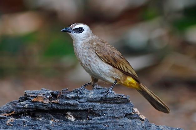 Geel-geventileerde bulbul pycnonotus goiavier mooie vogels van thailand neerstrijken op de boom