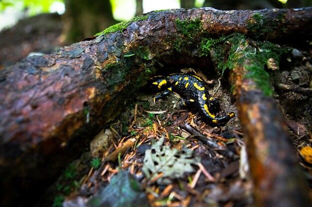 Geel gevlekte salamander in bos close-up