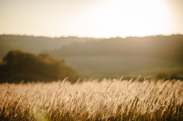 Geel gras op het veld in het zonlicht bij zonsondergang. overweldigende weidezonsopgang met bokehlicht.