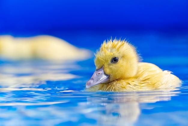 Geel klein schattig eendje in zwembad. eendje zwemmen in kristalhelder blauw water zonnige zomerdag.