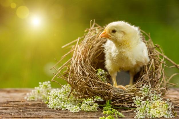 Geel kuiken in een nest op een natuurlijke achtergrond.
