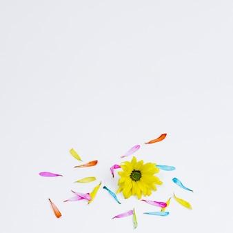 Geel madeliefje dat door bloemblaadjes wordt omringd