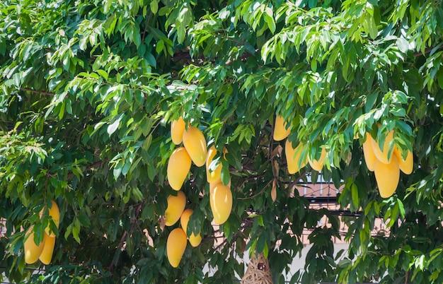 Geel mangofruit met blad op de boom