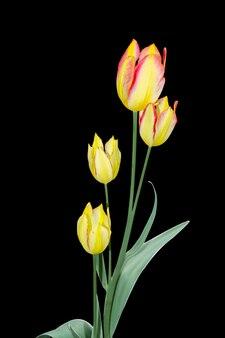 Geel met een roze tulp met vier bloemen. geïsoleerd op zwart