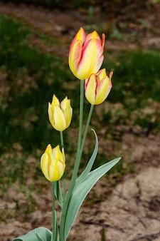 Geel met een roze tulp met vier bloemen